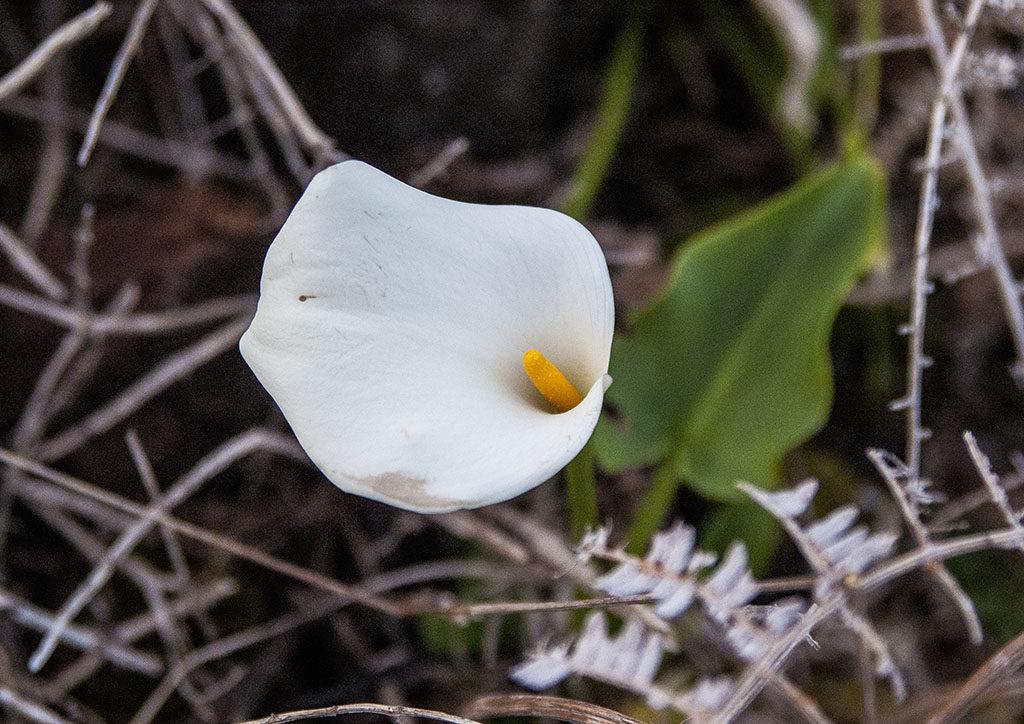 Azory w styczniu lilia