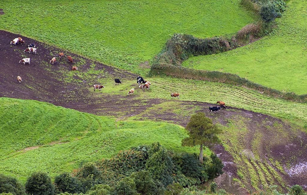 Krowy na Azorach Azory z dziećmi