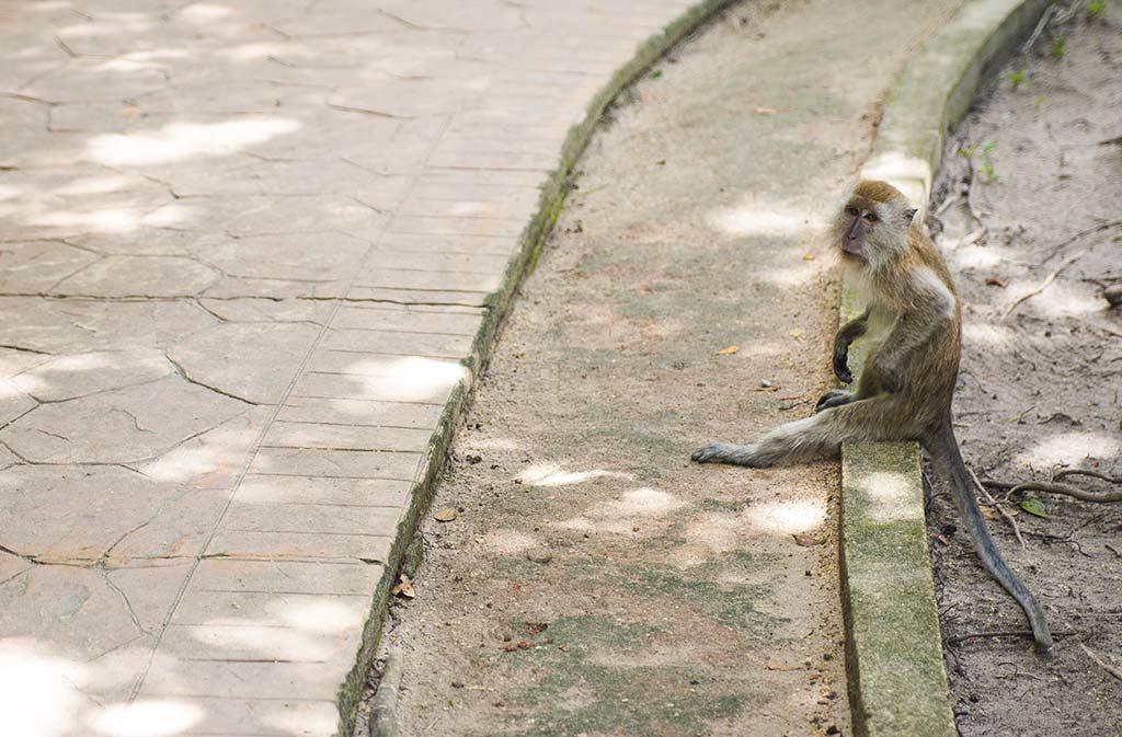 małpy w parku narodowym taman negara Penang